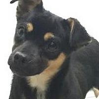 Adopt A Pet :: Fifi - Brattleboro, VT