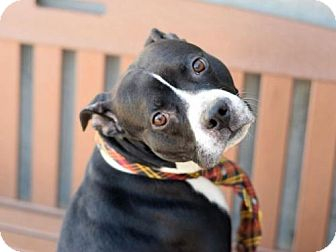 American Pit Bull Terrier Mix Dog for adoption in Manhattan, New York - Lex