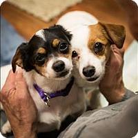 Adopt A Pet :: Chloe - Charlottesville, VA