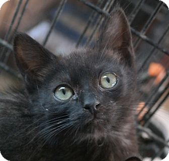 Domestic Shorthair Kitten for adoption in San Pablo, California - BLACK BABY 1