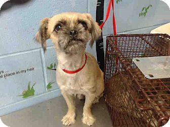 Terrier (Unknown Type, Small)/Pug Mix Dog for adoption in San Bernardino, California - URGENT on 10/11 SAN BERNARDINO