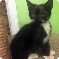 Domestic Shorthair Kitten for adoption in Austin, Texas - Katrina