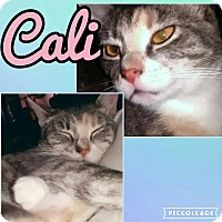 Domestic Shorthair Cat for adoption in Scottsdale, Arizona - Cali