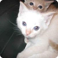 Domestic Mediumhair Kitten for adoption in Jacksonville, Florida - LILY