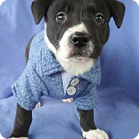 Adopt A Pet :: Oreo - Lawrenceville, GA