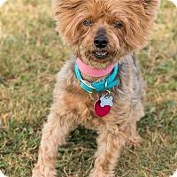Adopt A Pet :: Saffi - Atlanta, GA