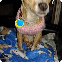 Adopt A Pet :: Lady (Honey) - Rochester, MN