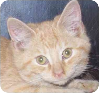 Domestic Shorthair Kitten for adoption in Annapolis, Maryland - Leon