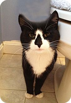 Domestic Shorthair Cat for adoption in N. Billerica, Massachusetts - Charlie