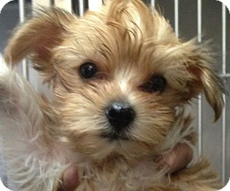 Yorkie, Yorkshire Terrier/Maltese Mix Puppy for adoption in New York, New York - Ali