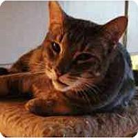 Adopt A Pet :: Spicolli - Pasadena, CA