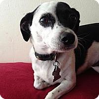 Adopt A Pet :: Bella - Atascadero, CA