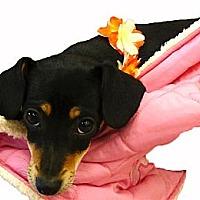 Adopt A Pet :: Darla cute as can be - Sacramento, CA