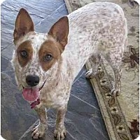 Adopt A Pet :: Rascal *ADOPTION PENDING* - Phoenix, AZ