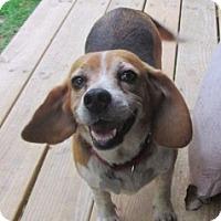 Adopt A Pet :: MILLIE - Williston Park, NY