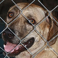 Catahoula Leopard Dog Mix Dog for adoption in Lone Oak, Texas - Audie