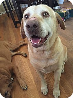Labrador Retriever Dog for adoption in Pasadena, California - Cecil