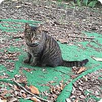 Adopt A Pet :: Tigra - Miami, FL