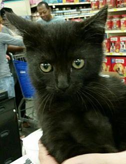 Domestic Mediumhair Kitten for adoption in Boynton Beach, Florida - Annie