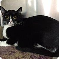Domestic Shorthair Cat for adoption in Cincinnati, Ohio - Dumpling