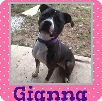 American Bulldog/Border Collie Mix Dog for adoption in Columbia, Maryland - Gianna