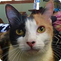 Manx Cat for adoption in New Windsor, New York - Hazel