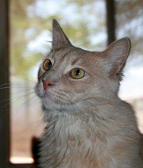 Domestic Longhair Cat for adoption in Phelan, California - Fireball