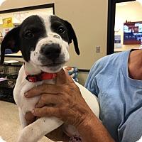 Adopt A Pet :: Pax - Hohenwald, TN