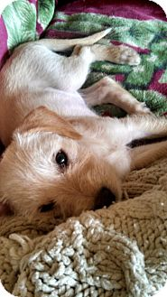 Jack Russell Terrier/Terrier (Unknown Type, Medium) Mix Dog for adoption in Lancaster, California - Hayley