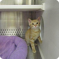 Domestic Shorthair Cat for adoption in Grand Junction, Colorado - Moe