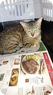 Domestic Shorthair Cat for adoption in Camilla, Georgia - Sally