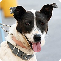 Pointer Mix Dog for adoption in Palmdale, California - Zoe