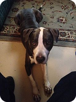 Pit Bull Terrier/Pointer Mix Dog for adoption in Las Vegas, Nevada - Roxy