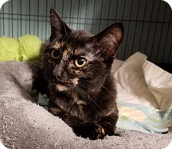 Domestic Shorthair Kitten for adoption in Tomball, Texas - Lucky