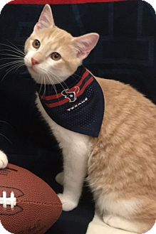 Domestic Shorthair Kitten for adoption in Houston, Texas - Mac