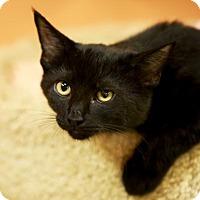 Domestic Shorthair Kitten for adoption in Kettering, Ohio - Dazzle