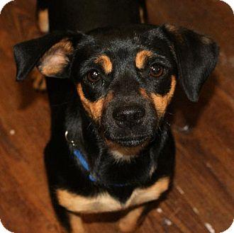 Dachshund/Pug Mix Dog for adoption in Prosser, Washington - Betty