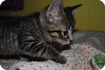 American Shorthair Kitten for adoption in Bay City, Michigan - Romeo