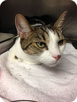 Domestic Shorthair Cat for adoption in Voorhees, New Jersey - Charlie-PetSmart Marlton