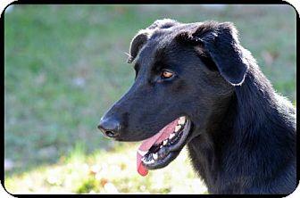 Labrador Retriever/Shepherd (Unknown Type) Mix Dog for adoption in Brick, New Jersey - Smokey