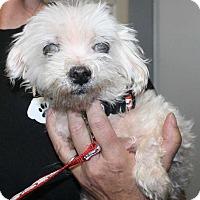 Maltese Mix Dog for adoption in Fort Madison, Iowa - Fraia