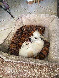 Dachshund/Chihuahua Mix Dog for adoption in Phoenix, Arizona - Able
