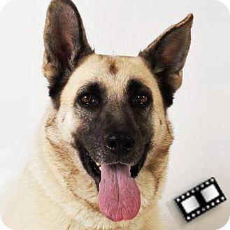 German Shepherd Dog Mix Dog for adoption in Prescott, Arizona - Gretchen