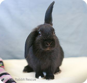 Mini Lop for adoption in Livermore, California - Todd