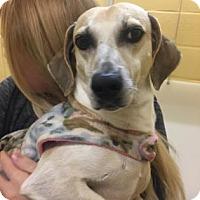 Dachshund Mix Dog for adoption in Columbia, South Carolina - Matthew