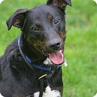Adopt A Pet :: Boomer - Lafayette, IN