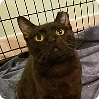 Domestic Shorthair Cat for adoption in Colmar, Pennsylvania - Dove