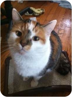 Calico Cat for adoption in Pittstown, New Jersey - Rusty