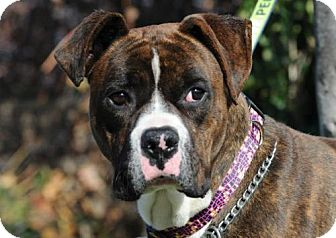 Boxer Mix Dog for adoption in Alameda, California - Johnny II
