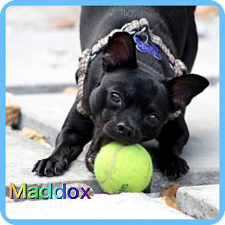 Chihuahua/Miniature Pinscher Mix Dog for adoption in Hollywood, Florida - Maddox
